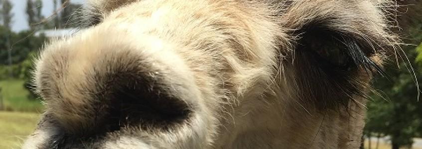 Alpaca Worm Control